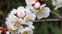 Bunga Aprikot. (dok. Pixabay/ Hansbenn)