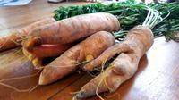 Penampakan wortel panenan petani yang ditanam dengan bibit asal Tiongkok lebih bongsor dibanding wortel biasa. (Foto: Liputan6.com/Polres Banjarnegara)