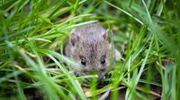 Tidak hanya mampu mengunyah kabel, tikus juga dapat menyebabkan kerusakan dan kekacauan lainnya di rumah Anda.