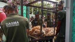 Petugas membawa Jupiter, singa yang mengalami kekurangan gizi, setibanya di kebun binatang di Cali, Kolombia, Kamis (27/2/2020). Singa itu dibius saat dipindahkan dari Buenavista untuk upaya menyelamatkannya dari kematian.  (Guillermo Gutiérrez/Alcaldia de Cali/Cali Mayor's Office/AFP)
