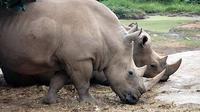 Di dunia ini ada 5 jenis badak, 2 jenis badak dari Afrika, 1 dari India dan 2 jenis dari Indonesia namun foto-foto dan film mengenai badak Indonesia sangat jarang terpublikasi. (Antara).