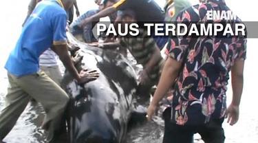 Puluhan paus berusaha diselamatkan oleh relawan dan mahasiswa saat terdampar di pantai Probolinggo Jawa Timur.