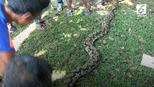Seekor ular piton seberat 70 kilogram ditemukan di permukiman warga Tangerang. Warga ketakutan karena sudah hampir sebulan ular piton itu berkeliaran.