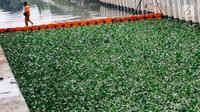 Petugas beraktivitas di sekitar lokasi uji coba tanaman eceng gondok di Kali Inlet 3, Tanjung Priok, Jakarta, Selasa (4/12). Eceng gondok mulai ditanam Pemprov DKI sebagai salah satu strategi menjernihkan sungai di Jakut. (Liputan6.com/Immanuel Antonius)