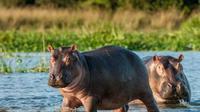 Kuda Nil (iStock)