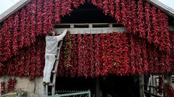 Seorang pria memanfaatkan tembok rumahnya untuk menggantung kiloan paprika merah hingga kering, di Desa Donja Lakosnica, Serbia, 6 Oktober 2016. Saat musim panen, warga menjemur paprika di dinding hingga atap rumah. (REUTERS/Marko Djurica)