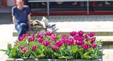 Sejumlah pot bunga tulip terlihat di jalanan Amsterdam, Belanda (8/4/2020). Festival Tulip Amsterdam 2020 menampilkan tulip di jalan-jalan sepanjang bulan April. Akibat epidemi COVID-19, beberapa lokasi pameran tulip ditutup tahun ini. (Xinhua/Sylvia Lederer)