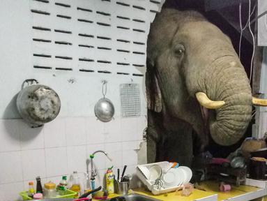Foto yang diambil pada 20 Juni 2021 dan mendapat izin dari Radchadawan Peungprasopporn melalui akun Facebooknya pada 22 Juni 2021 menunjukkan gajah mencari makanan di dapur rumahnya, Pa La-U, Hua Hin, Thailand. Gajah memakai belalai untuk mencari makanan. (Radchadawan PEUNGPRASOPPORN/FACEBOOK/AFP)