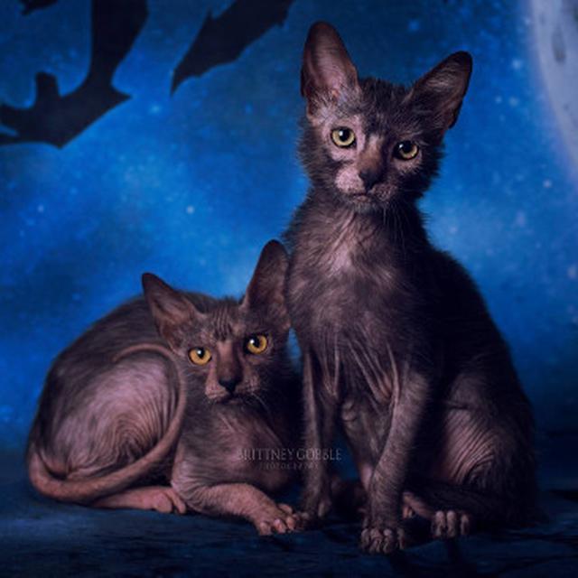 Mengenal Kucing Manusia Serigala Global Liputan6 Com