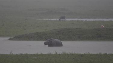 Seekor badak bercula satu melintasi genangan air saat hujan deras di suaka margasatwa Pobitora, sekitar 60 kilometer di timur Gauhati, India, (23/5). Tempat ini memiliki populasi padat badak bercula satu di dunia. (AP Photo/Anupam Nath)