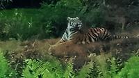 Harimau yang menyerang karyawati kebun sawit sempat menampakkan diri tepat di depan warga yang mencuci beberapa waktu lalu. (Liputan6.com/M Syukur)