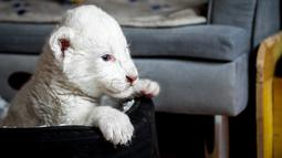 """Gambar pada 11 Agustus 2019, memperlihatkan seekor anak singa putih di pusat perawatan singa/harimau """"Caresse de tigre"""", di La Mailleraye-sur-Seine, Prancis. Dua anak singa putih, bernama Nala dan Simba tersebut lahir pada akhir Juli 2019. (LOU BENOIST/AFP)"""