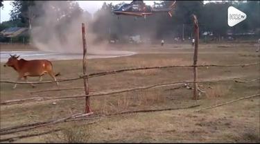 Detik-detik seekor sapi nyaris melintasi helipad di India. Beruntung helikopter berhasil mendarat dengan aman.