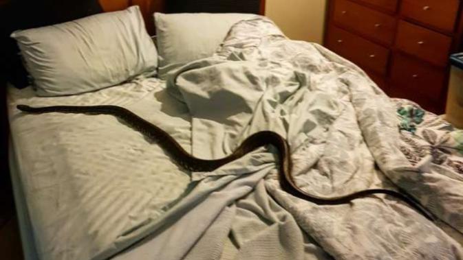 Doc: Facebook/Sunshine Coast Snake Catchers