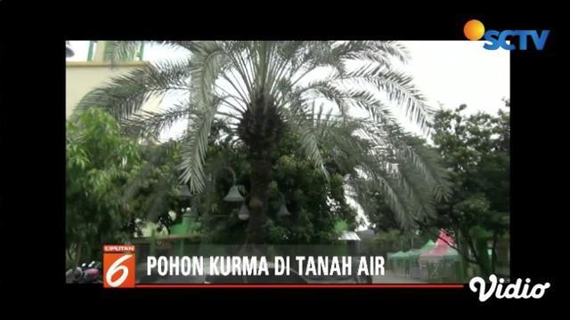 Pohon kurma yang jarang bisa tumbuh di Indonesia ternyata bisa tumbuh di Masjid Agung Al-Barkah, Bekasi, Jawa Barat.