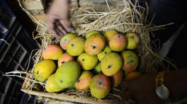 Buah mangga tidak hanya mengandung vitamin C yang tinggi, buah ini juga bisa menjadi pilihan untuk menggemukkan badan. Buah mangga yang kaya kalori adalah buah yang sudah matang dan rasanya manis. (AFP PHOTO/Sam PANTHAKY)