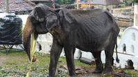 Gajah kurus bernama Tikiri memakan tumbuh-tumbuhan di Kuil Gigi, Kandy, Sri Lanka, Selasa (13/8/2019). Kondisi gajah berumur 70 tahun ini sangat miris dan rapuh. (STR/AFP)