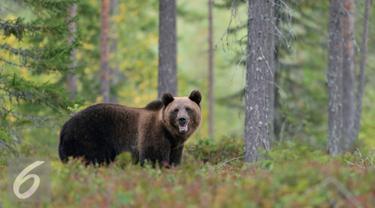 20160408-Ilustrasi-Beruang-iStockphoto