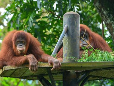 Sejumlah orangutan Sumatra terlihat di Kebun Binatang Negara dekat Kuala Lumpur, Malaysia, 19 Desember 2020. Kebun Binatang Negara kembali dibuka untuk umum pada 18 Desember. (Xinhua/Chong Voon Chung)