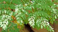 Tingginya kandungan zat besi pada daun kelor bisa digunakan sebagai antianemia.