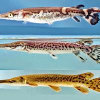 Ikan Aligator adalah salah satu ikan yang dilarang ada di Indonesia | foto : istimewa
