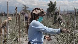 Seorang wanita memetik cabai yang diselimuti abu vulkanis pascaerupsi Gunung Sinabung di Karo, Sumatra Utara, Senin (10/8/2020). Gunung Sinabung meletus dengan tinggi kolom abu mencapai 5.000 meter di atas puncak gunung atau sekitar 7.460 mdpl. (Xinhua/Alberth Damanik)