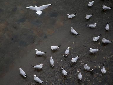 Kawanan burung yang bermigrasi terlihat di tepi sebuah sungai di Tonekabon, Iran utara, pada 30 November 2020. (Xinhua/Ahmad Halabisaz)