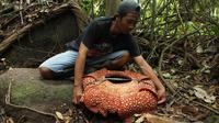 Petugas mengukur Bunga Rafflesia Arnoldii dengan kelopak tujuh di habitat Rafflesia Padang Guci, Bengkulu, Rabu (17/1). Rafflesia Arnoldii berkelopak tujuh lembar itu merupakan momen langka dengan waktu mekar sempurna kurang dari seminggu (DIVA MARHA/AFP)