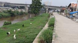 Kambing memakan rumput di bantaran Sungai Ciliwung, Jakarta, Rabu (7/11). Peternak menggembalakan kambingnya di kawasan tersebut untuk mengurangi biaya pakan. (Liputan6.com/Immanuel Antonius)