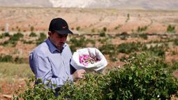 Seorang pria Suriah ambil bagian dalam proses pemetikan Damask atau Mawar Damask (Damascene Rose) yang populer di Kota al-Marah, sebelah utara ibu kota Damaskus, Suriah, (27/5/2020). (Xinhua/Ammar Safarjalani)