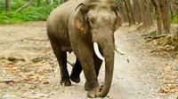 Gajah mengungsi dari Taman Nasional Tesso Nilo karena kabut asap kebakaran lahan dan masuk ke kebun masyarakat. (Liputan6.com/Dok BBKSDA Riau/M Syukur)