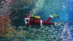 Seorang penyelam yang mengenakan kostum sinterklas berenang di antara kawanan ikan sarden di Coex Aquarium, Seoul, Selasa (18/12). Acara rutin tahunan ini menghadirkan penyelam berpakaian Sinterklas untuk menghibur pengunjung. (AP Photo/Ahn Young-joon)