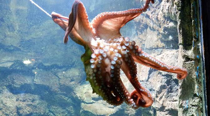 Giant Pasific Octopus