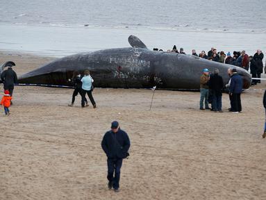 Sejumlah wisatawan melihat bangkai paus sperma yang tergeletak di atas pasir setelah terdampar di pantai Skegness, Inggris, Senin (25/1). Menurut media setempat, tiga paus sperma ditemukan mati terdampar pada akhir pekan lalu. (REUTERS / Andrew Yates)