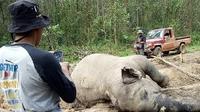 Gajah mati karena gangguan pencernaan ditemukan membusuk di konsesi hutan tanaman industri di Riau. (Liputan6.com/Dok BBKSD Riau/M Syukur)