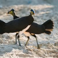 Jadi satwa endemik di Indonesia, burung ini masih saja meyimpan misteri yang belum terkuak hingga kini.