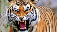Hilangnya hutan yang menjadi habitat harimau Sumatera menyebabkan hewan ini sering kali dibunuh atau ditangkap karena tersesat di pedesaan.
