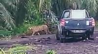 Harimau Bonita tak ketahuan rimbanya beberapa hari terakhir. (Liputan6.com/M Syukur)