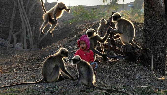 Samarth Bangari adalah bocah berusia 2 tahun yang akrab dengan monyet (AFP)