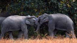 Dua gajah saat mencari makan di dekat pemukiman warga Desa Bahampur di kabupaten Nagaon, 155 km timur Guwahati, India (27/12). Fenomena ini diduga akibat kurangnya pohon untuk pangan para gajah dan habitat lainnya. (AFP Phoyo/Biju Boro)