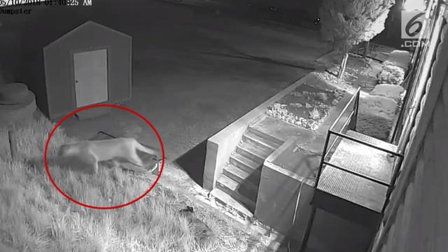 Seekor singa gunung masuk ke dalam areal gereja di Colorado. Penampakan itu terekam kamera keamanan.