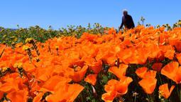 Orang-orang mengunjungi ladang poppy di dekat Antelope Valley California Poppy Reserve saat berlangsungnya mekar musim semi tahunan di Lancaster, California, 16 April 2020. Mekarnya poppy tahun ini disiarkan secara langsung lantaran penutupan ladang akibat pandemi Covid-19. (Frederic J. BROWN/AFP)