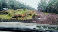 Harimau Sumatera yang memasuki perkebunan sawit berusaha lari dari kejaran petugas BBKSDA Riau. (Liputan6.com/M Syukur)