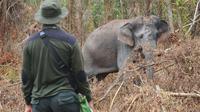 Petugas BBKSDA Riau ketika berhadapan dengan gajah sakit di Kabupaten Bengkalis. (Liputan6.com/Dok BBKSDA Riau)