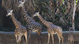 Anak jerapah masai betina (kanan) bersama ibunya diperlihatkan ke publik di Kebun Binatang LA di Los Angeles, California (18/10/2019). Anak jerapah yang lahir 1,98 cm (6 kaki 6) diperkirakan akan tumbuh hingga 5 meter (17 kaki) tinggi dan jerapah Masai adalah mamalia darat tertinggi. (AFP Photo/Mark