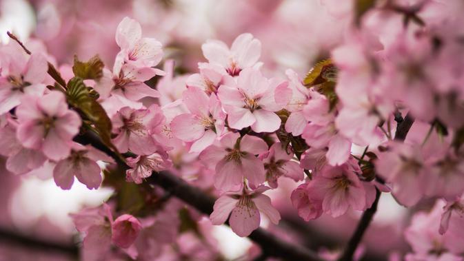 Image Wajah Cerah dengan Khasiat Bunga Sakura dari Pulau Jeju