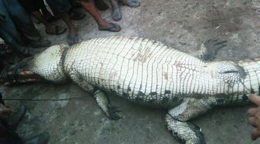 Buaya yang mangsa petani ditangkap masyarakat di Sungai Lakar, Kabupaten Siak.