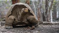 Seekor kura-kura raksasa Galapagos di Taman Nasional Galapagos, Ekuador, 12 September 2017. Kura-kura Galapagos makan rumput, dedaunan, kaktus dan buah tapi bisa bertahan hidup sampai setahun tanpa makanan dan air. (HO / GALAPAGOS NATIONAL PARK / AFP)