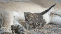 Seekor bayi macan tutul berusia satu minggu diasuh singa betina berusia lima tahun di Kawasan Konservasi Ngorongoro di Tanzania, 11 Juli 2017. Singa bernama Nosikitok itu terlihat menyusui bayi macan tutul. (Joop van der Linde/Ndutu Safari Lodge via AP)