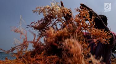 Warga tengah memilah rumput laut di Kawasan Pulau Panggang, Kepulauan Seribu, Jakarta, Rabu (18/9/2019). Hasil laut tersebut dijual dengan harga Rp7000 per kilogram untuk memenuhi kebutuhan rumah tangga sehari-hari yang rata-rata mata pencahariannya adalah Nelayan. (Liputan6.com/Johan Tallo)